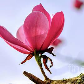 Viktor Birkus - Spring magnolia 4