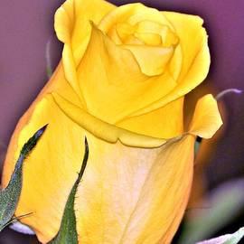Diann Fisher - Spring Rose