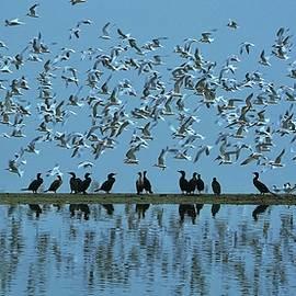 John R Williams - Spring, the Terns