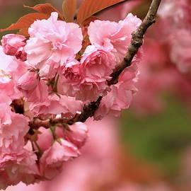 Geraldine Scull - Spring time blossoms