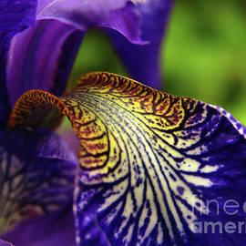Spring Time Iris 3 by Kim Tran