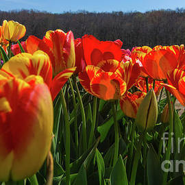 New England Photography - Spring tulips in Rhode Island