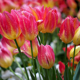 Spring Tulips in the Rain by Rona Black