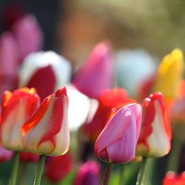 Robert Pearson - Spring Tulips