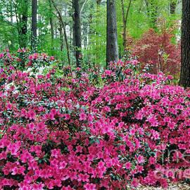 Springtime Azaleas at Nacogdoches Texas by Ruth  Housley