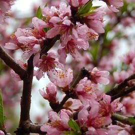 Springtime Blossoms by Arlane Crump