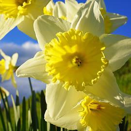Springtime Bright Sunny Daffodils Art Prints by Patti Baslee