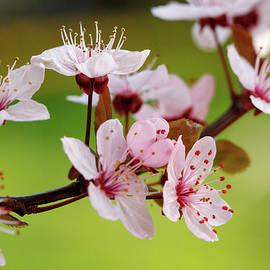 Svetlana Yelkovan - Springtime -  Cherry Blossom