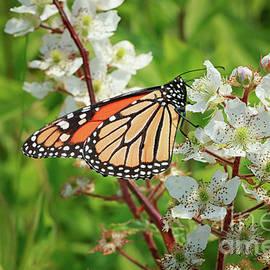 Elizabeth Dow - Springtime Monarch Butterfly