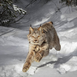 Wes and Dotty Weber - Sprinting Lynx