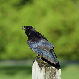 William Tasker - Squawking Fish Crow