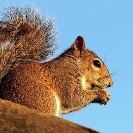 Jill Nightingale - Squirrel Eating An Acorn