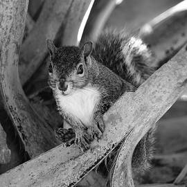 Squirrel in Palm Tree Black and White by Elizabeth Abbott