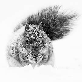 Squirrel in Snow Storm by Mircea Costina Photography
