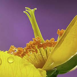 Shirley Mitchell - St Johns Wort Flower