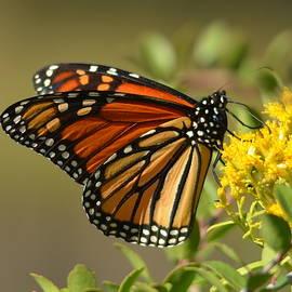 Carla Parris - St. Marks Monarch Butterfly