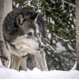 Athena Mckinzie - Stalking Wolf
