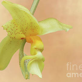 Stanhopea Penelope Orchid by Judy Whitton