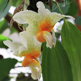 Judy Whitton - Stanhopea Saccata Orchid #2