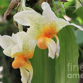Judy Whitton - Stanhopea Saccata Orchid