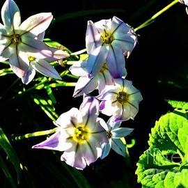 Debra Lynch - Star Flowers