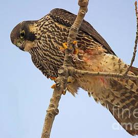 Stare down - Peregrine Falcon - falco peregrinus by Spencer Bush
