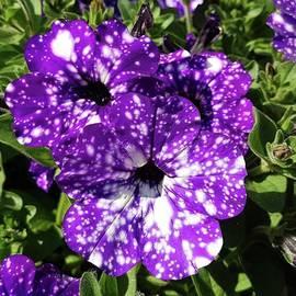 Rowena Tutty - Starry Petunias...