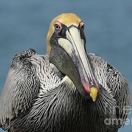 Carol Groenen - Stately Pelican