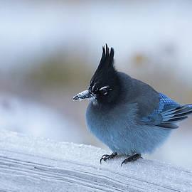 Stellers Jay in Winter by Jemmy Archer