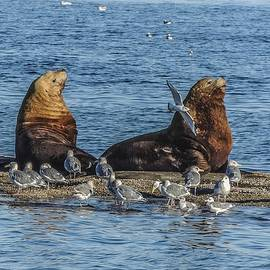 Steller's Sea Lions and Gulls by NaturesPix