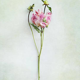 Stephanie Frey - Still life of a Peony with texture overlay