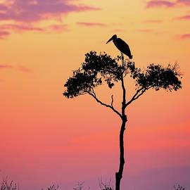 Stork on Acacia Tree in Africa at Sunrise - Susan Schmitz