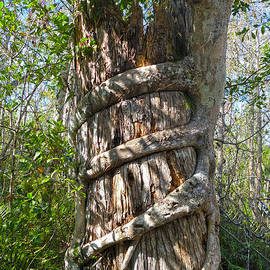 Strangler Fig, Big Cypress Swamp by Catherine Sherman