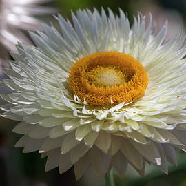 Strawflower by Bruce Frye