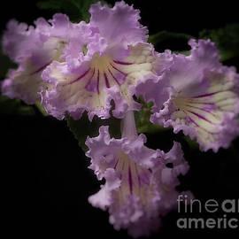 Streptocarpus 'renia' by Ann Jacobson