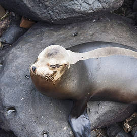 Striped Baby Sea Lion