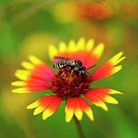 Striped Wasp by Bill Morgenstern