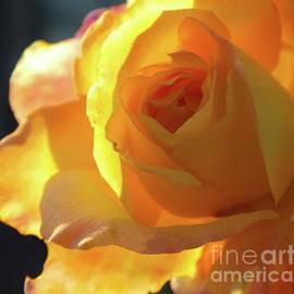 Cindy Treger - Stunning Display - Rose