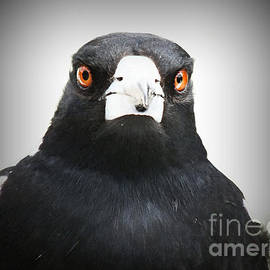Stunning male Australian Magpie boldly faces the world by Murray Webb