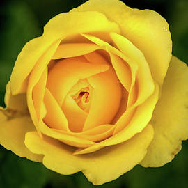 Stunning Yellow Rose by Don Johnson