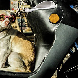 Stylish Portuguese Dog  looking for his driver by Sven Brogren