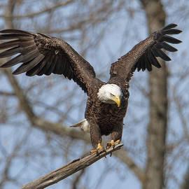 Subadult Bald Eagle Drb0251 by Gerry Gantt