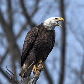 Gerry Gantt - Subadult Bald Eagle DRB0253