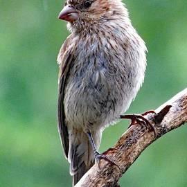 Cindy Treger - Subtle Beauty - Female Purple Finch