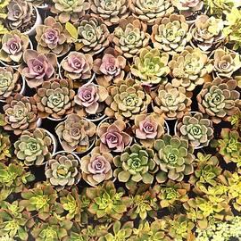 Sonali Gangane - Succulent 2