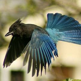 Suet-Mouthed Steller's Jay by Teresa A Lang