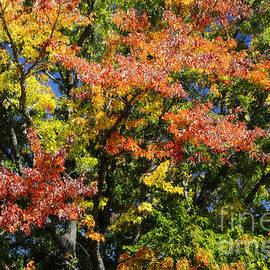 Sugar Maple Tree by Alana Ranney