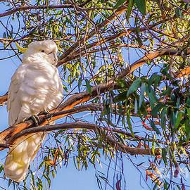Lexa Harpell - Sulphur-Crested Cockatoo #2