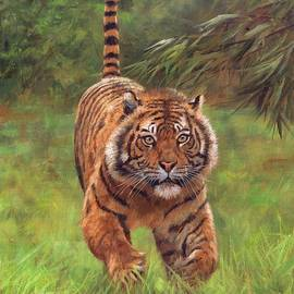 Sumatran Tiger Running - David Stribbling