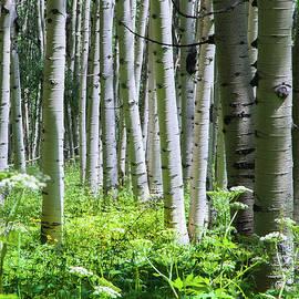 John Bartelt - Summer Aspens - Kebler Pass, CO